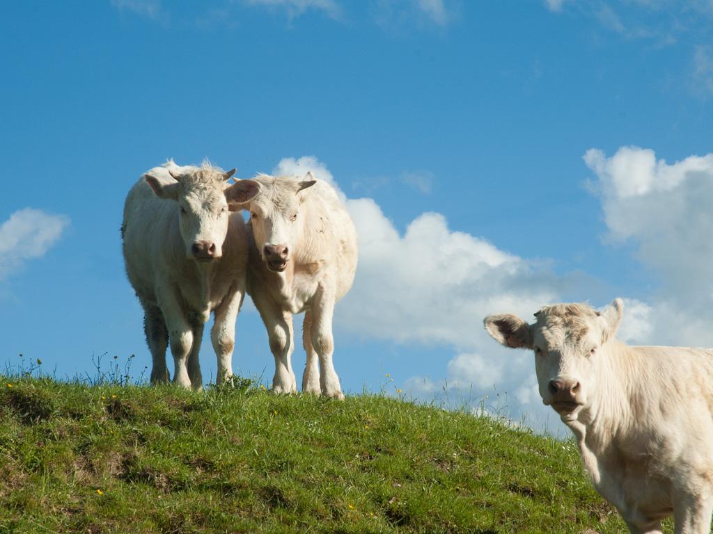 koeien op het weiland